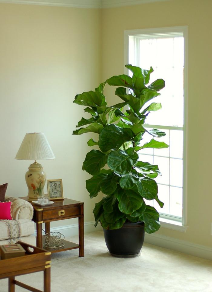 Ficus lyrata vivo plantas for Plantas naturales para decorar interiores